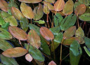 Potamogeton natansxx
