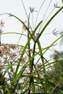 waterplante vossebeld vijvers (3)