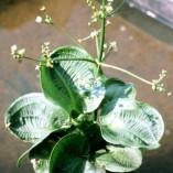 Alisma-parviflora