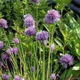 Allium-palustris