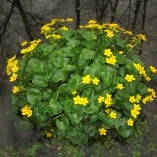 Caltha-palustris