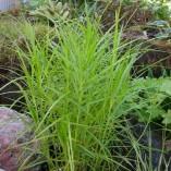 Carex-muskingumensis