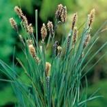 Carex-panicea