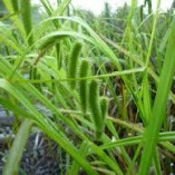 Carex-pseudocyperus