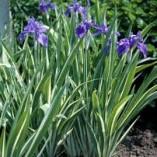Iris-laevigata-Variegata