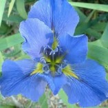 Iris-louisiana-Blue