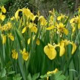 Iris-pseudacorus