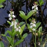 Menyanthus-trifoliata