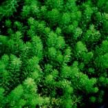 Myriophyllum-procerpinacoides