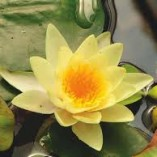 Nymphaea-Yellow-Sensation