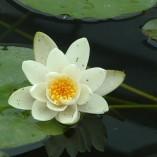 Nymphaea pygmaea alba