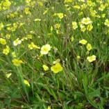 Ranunculus-flammula