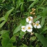 Sagittaria-latifolia