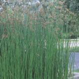 Scirpus-lacustris