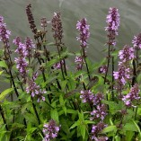 Stachys-palustris